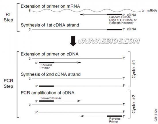 基因表达的半定量pcr检测