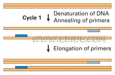 pcr基因扩增实验原理,材料和方法