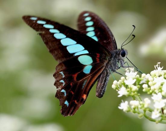 日科学家发现凤蝶产卵机理加速昆虫进化研究