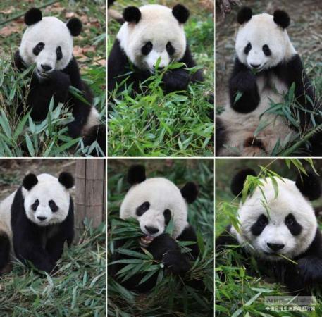 中国最大规模大熊猫野化放归成都启动