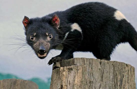 澳大利亚袋獾