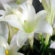 我国加紧选育转基因花卉新品种