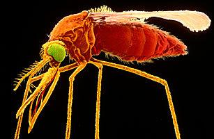 制成第一种疟疾疫苗