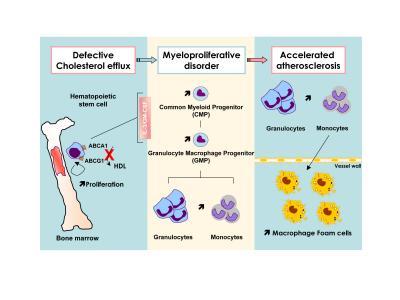 抑制动脉内斑块积聚的信号转导通路可减轻白细胞增多症
