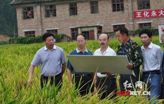 袁隆平研制超级稻试验田有望突破亩产900公斤