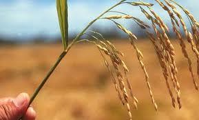 PNAS:张启发课题组成功克隆水稻光敏感雄性不育基因