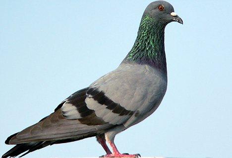 鸽子等鸟类可产生乳汁哺乳幼崽