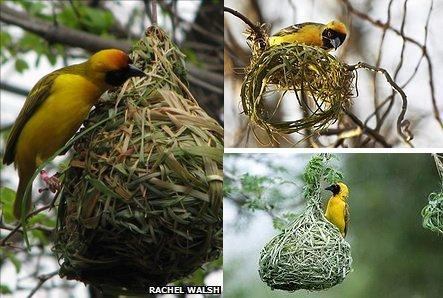 揭示鸟类会筑巢之谜:基因中存抽象巢穴轮廓