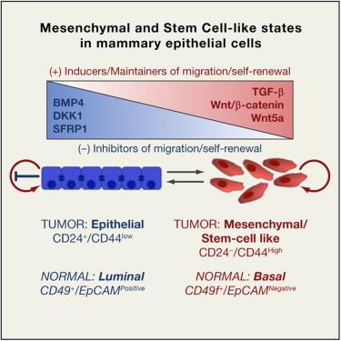 Cell:上皮-间质转化信号通路研究获进展