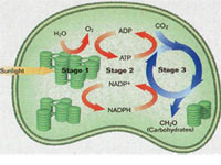 利用可光合作用的海藻细胞产生电流