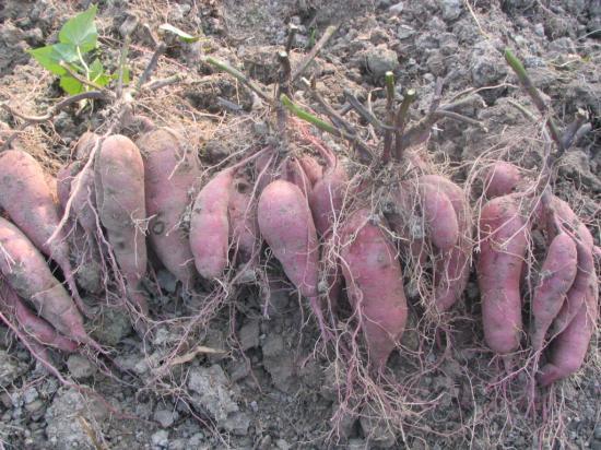 甘薯根的横切结构图