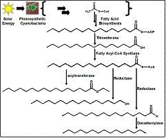 脂肪酸乙酯,长链脂肪醇,长链脂肪烃的生物合成途径图片
