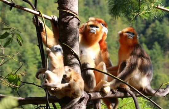神农架金丝猴研究保护基地设立