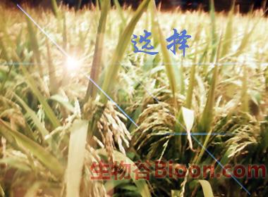 转基因水稻,只是多了一种新选择――盘点2010