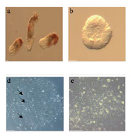 Nature Methods:科学家提出干细胞快速分化成单一细胞方法