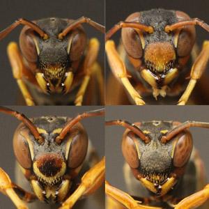 """Science:黄蜂能依靠触角辨别彼此""""长相"""""""