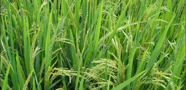 "PLoS ONE:浙大教授发明控制转基因水稻""意外传播""技术"