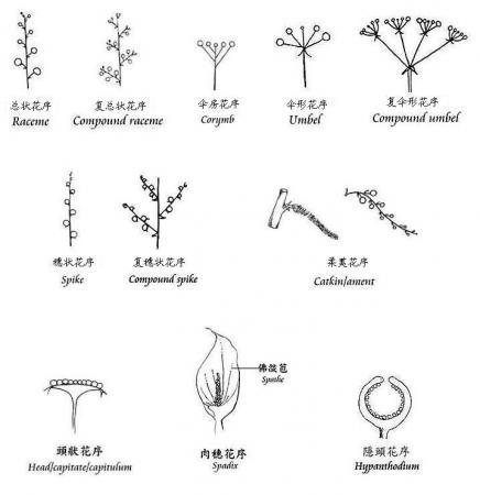 Science:植物花序类型多样性的形成机制 - 云之南 - 云之南