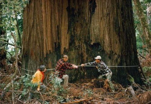国家地理120年九大发现:受到保护的红杉