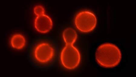 基因修补技术令酵母寿命延长十倍有望用于人类