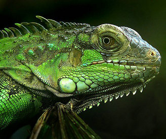 北美绿蜥蜴基因组公布 为鸟类起源提供新线索