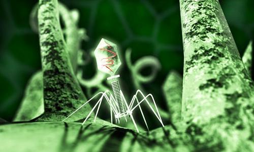 图片显示一个肠杆菌噬菌体 T4 病毒正在一个细菌表面上。噬菌体将感染细菌并接管其职能,然后复制和释放更多病毒。