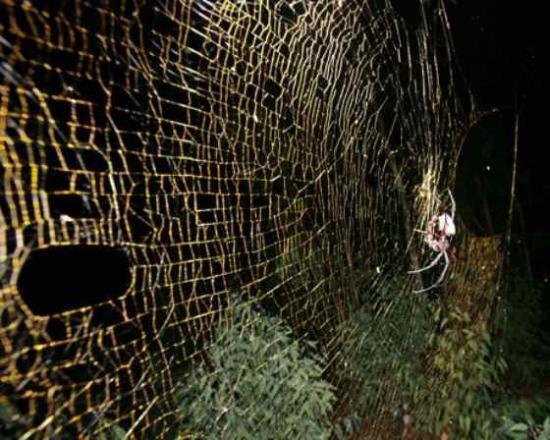 金源网蛛丝能驱蚁 有助人类开发天然驱蚁武器