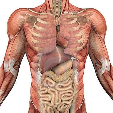 biology:肠道内胚层与左右不对称性建立有关