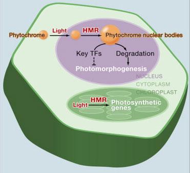 Cell:光敏色素促进拟南芥HEMERA突变体光媒发育