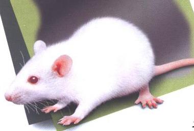 科学家首次观测到实验鼠脑神经细胞发育过程