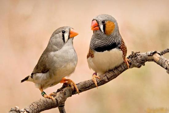 科学家发现斑胸草雀存在同性恋行为