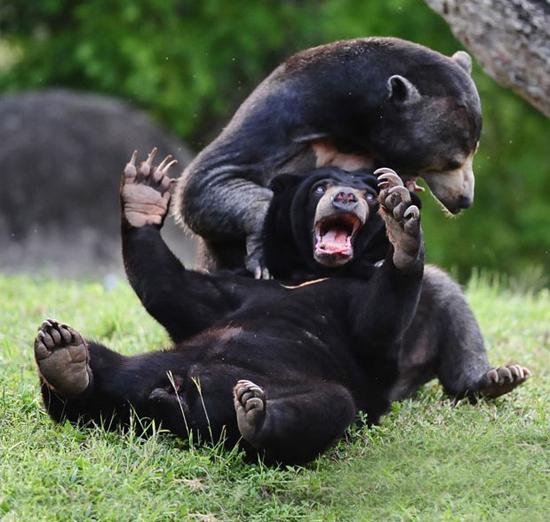 美国动物园:小熊互殴----瞧我的利爪!