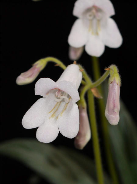 江西婺源发现一级濒危植物——报春苣苔