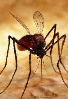 英国科学家运用基因工程技术培育出不能传播疟疾的蚊子