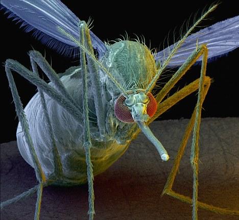 英科学家培育出基因突变蚊子 有望消灭疟疾