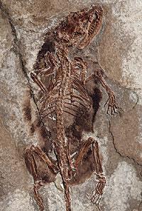 Science:哺乳動物中耳在進化過程中出現多次演化