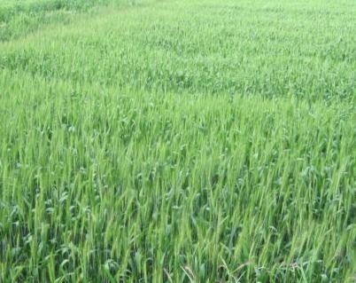 专家建议:低温阴雨要加强小麦白粉病的预防